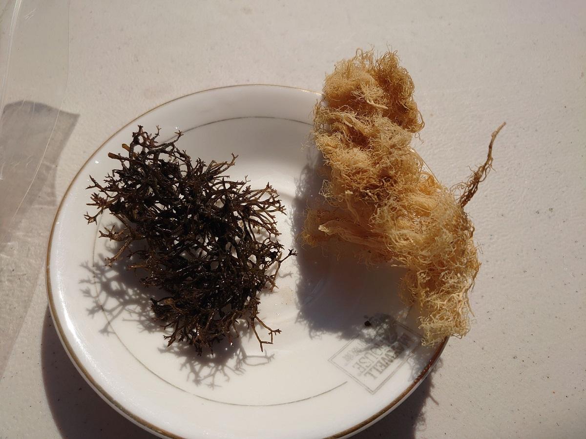 處理曬乾後的海底龍鬚菜