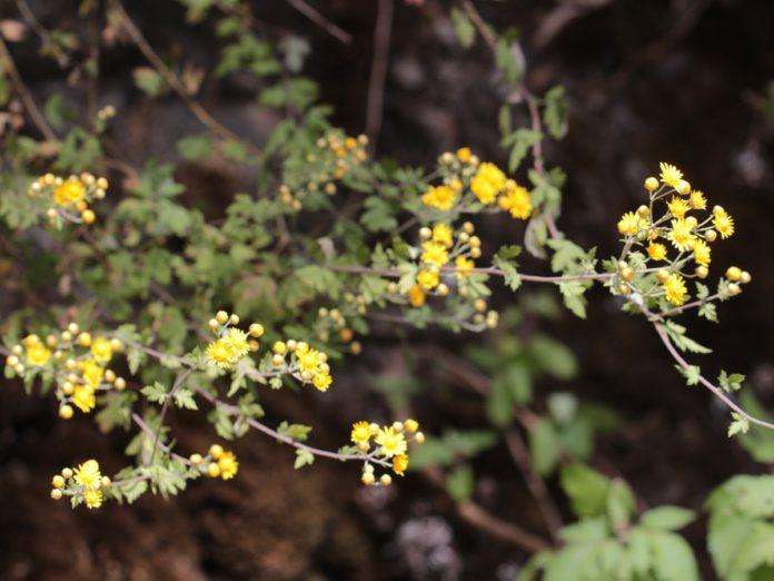阿里山油菊