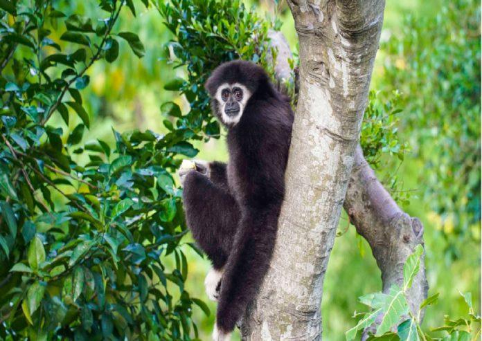 白手長臂猿「比德潘」
